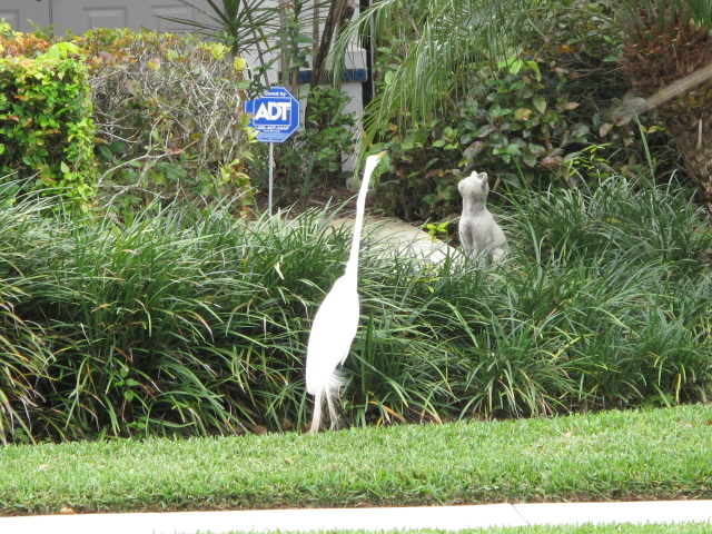 Great Egret stalking decorative stone cat